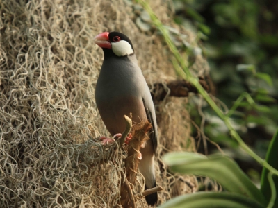 Padda de  Java oiseau au Naturospace d'Honfleur en Normandie