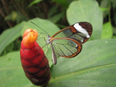greta-oto-(costa-rica)-naturospace.jpg
