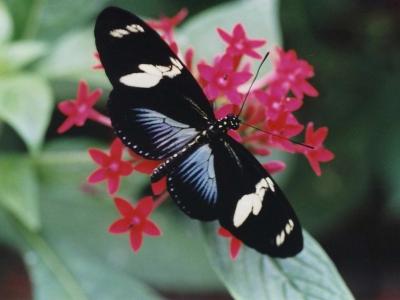 heliconius-doris-guyane-grand