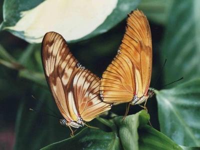 papillon-dryas-julia-guyane-accouplement-naturospace-honfleur.jpg