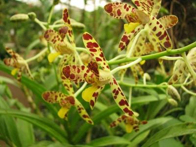 orchidee-ansellia-africana-naturospace-2011