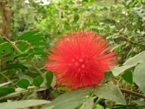 calliandra haematocephala-(pompon-de-marin)--naturospace-honfleur