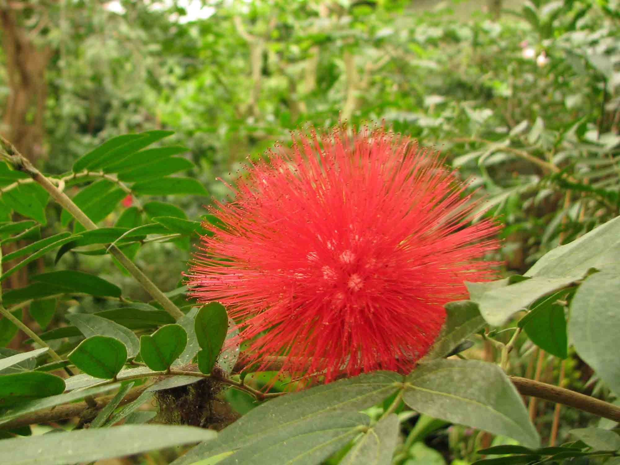 calliandra-haematocephala-pompon-de-marin-naturospace-honfleur