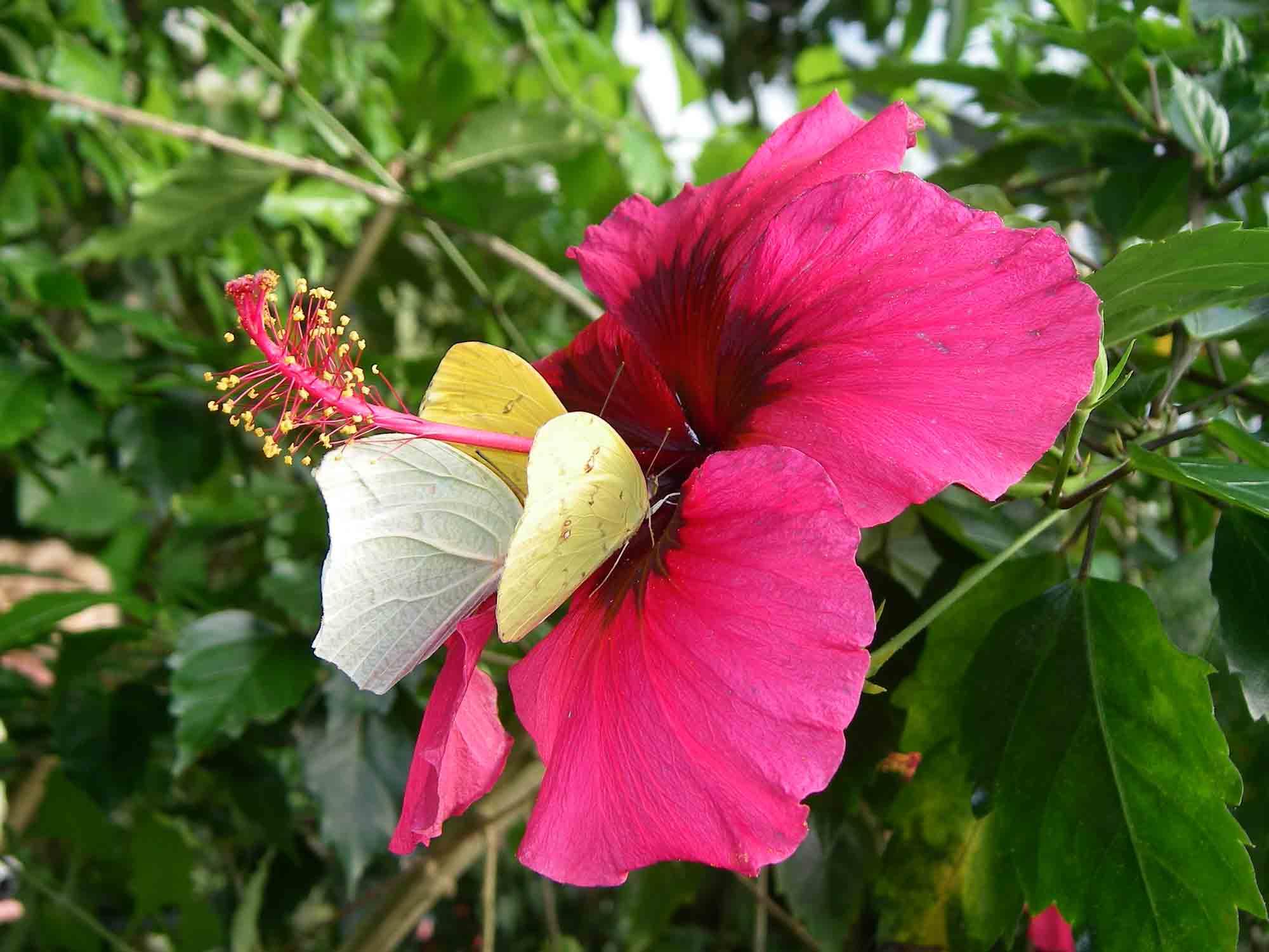 fleur-et-papillon-pieridees-sur-hibiscus-honfleur-naturospace