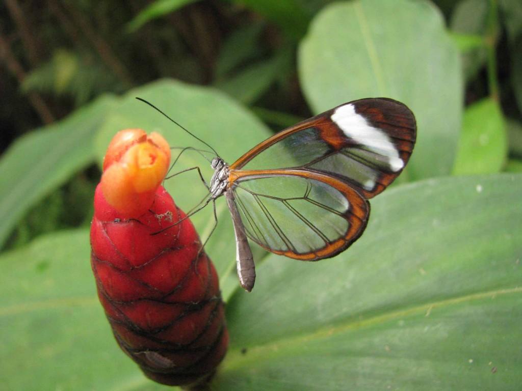 papillon Greta Oto (Costa Rica)