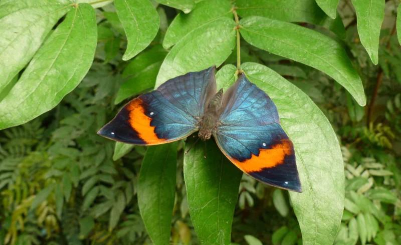 Kallima Inachus (Malaisie)
