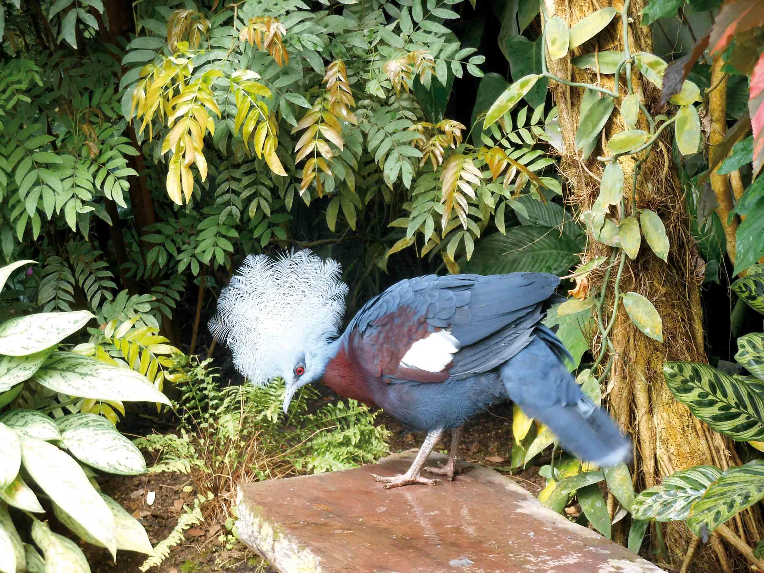 oiseau-goura-de-sheepmaker-naturospace