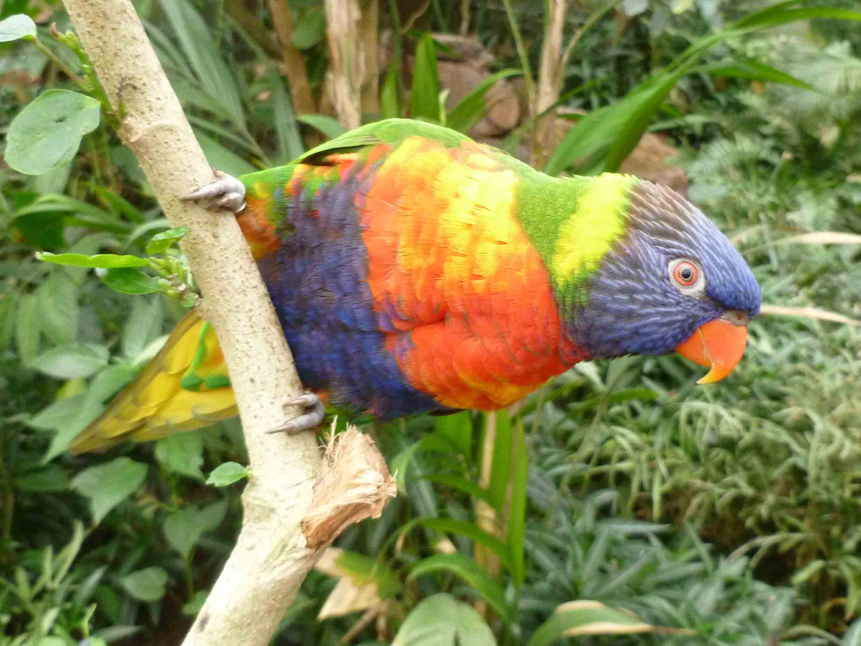 oiseau-lori-de-swainson-zoo-honfleur