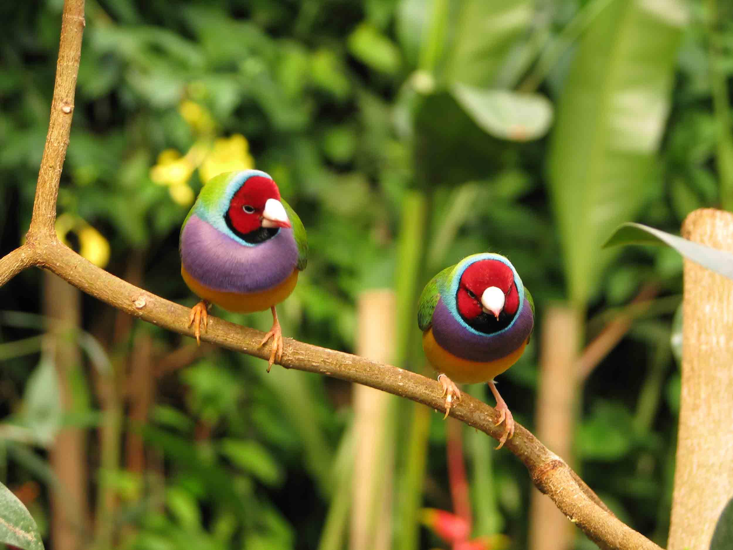 oiseaux-diamand-de-gould-naturospace