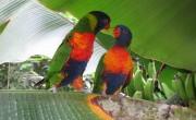 oiseaux loriquets Naturospace