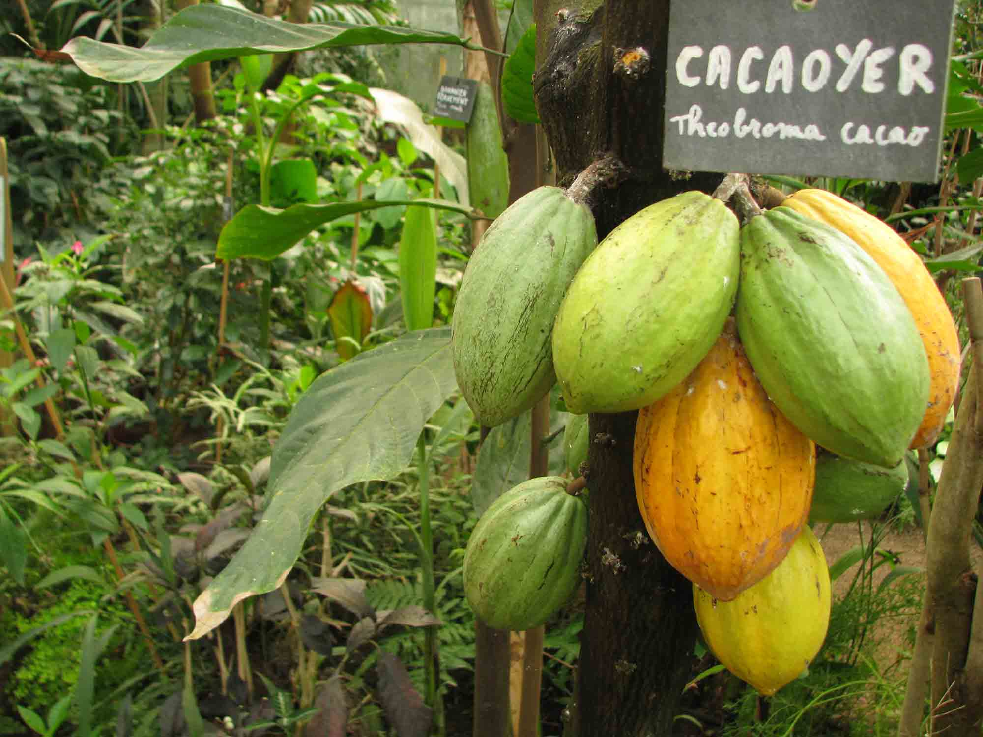 theobroma-cacao-cacaoyer-naturospace-honfleur