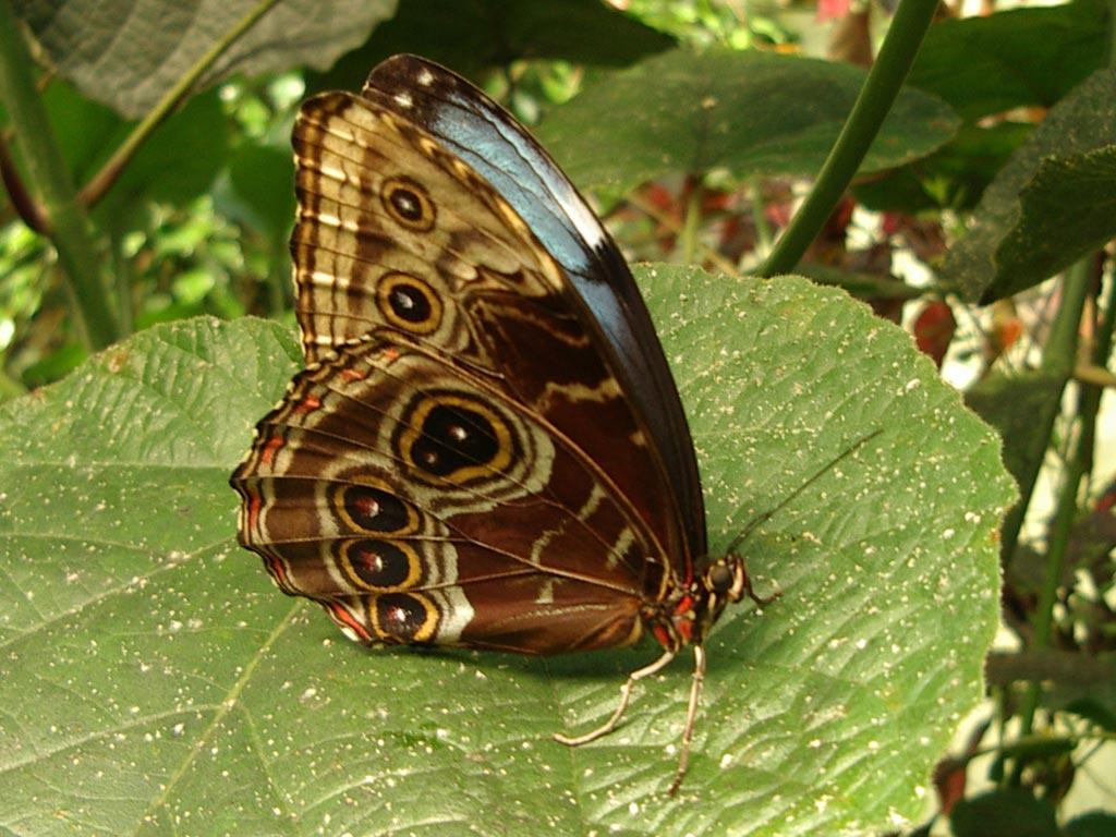 FWP-Morpho-peleides-femelle-003