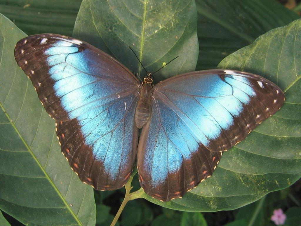 FWP-Morpho-peleides-femelle-004