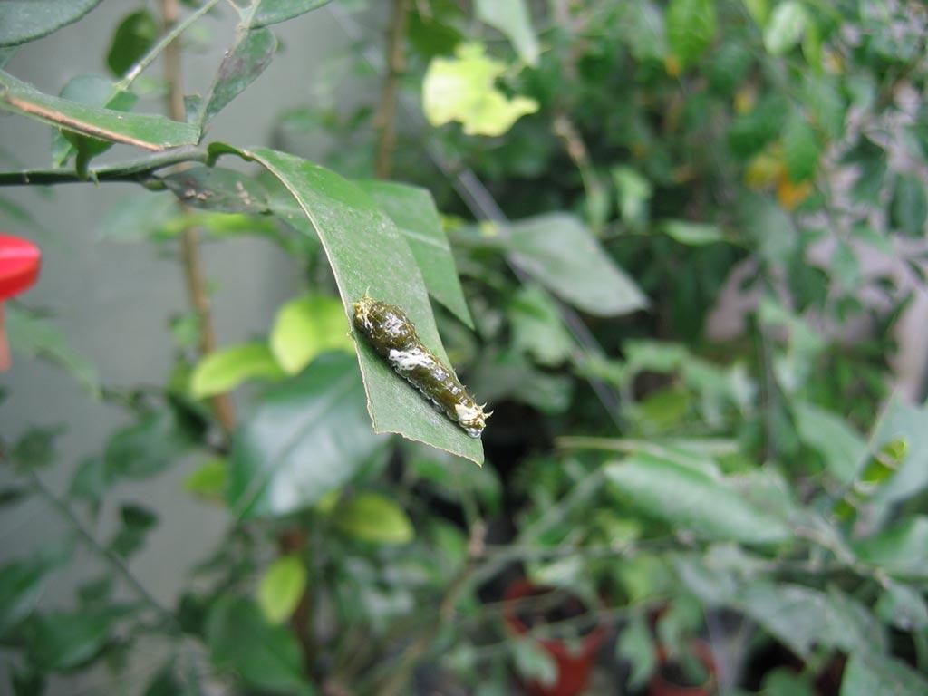 FWP-Papilio-rumanzovia-chenille-au-3ème-stade-25mm