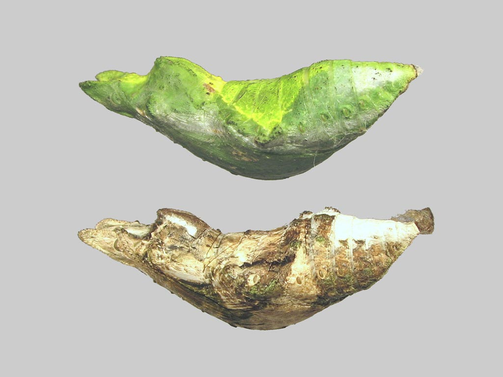 FWP-Papilio-rumanzovia-chrysalide-42mm