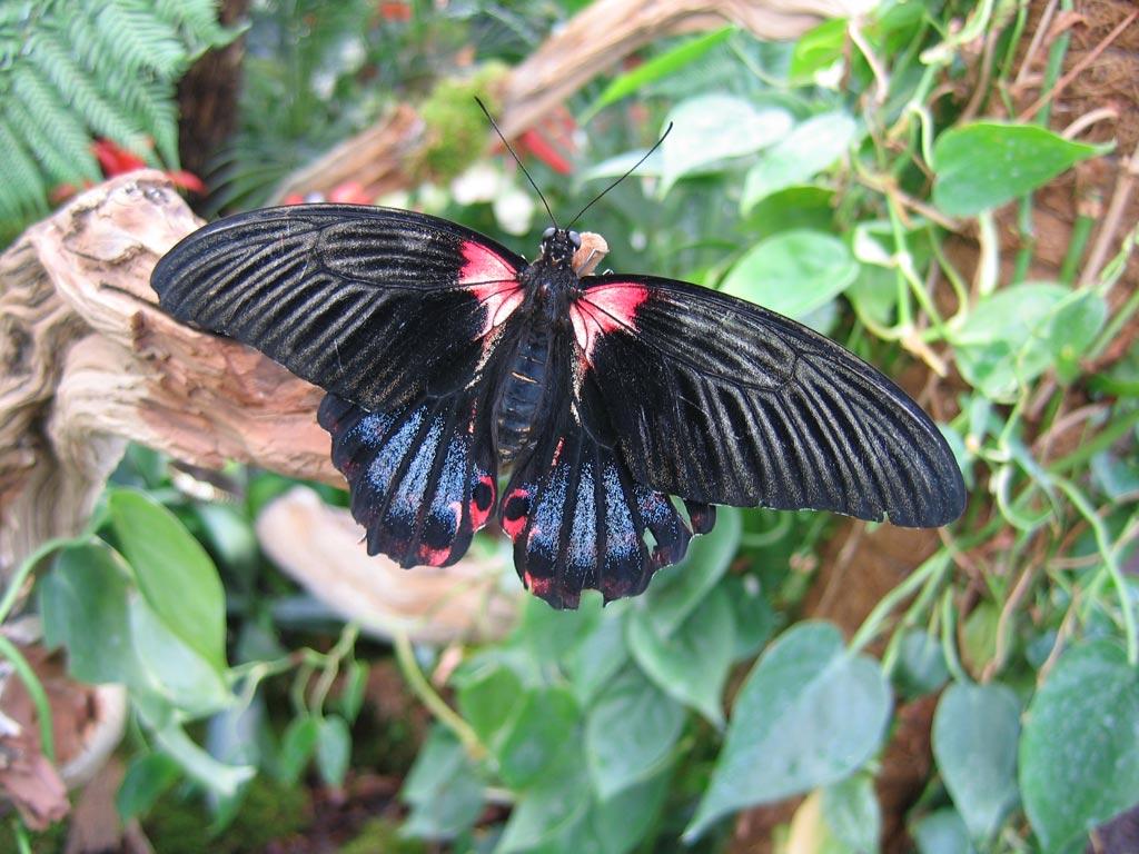 FWP-Papilio-rumanzovia-femelle-001
