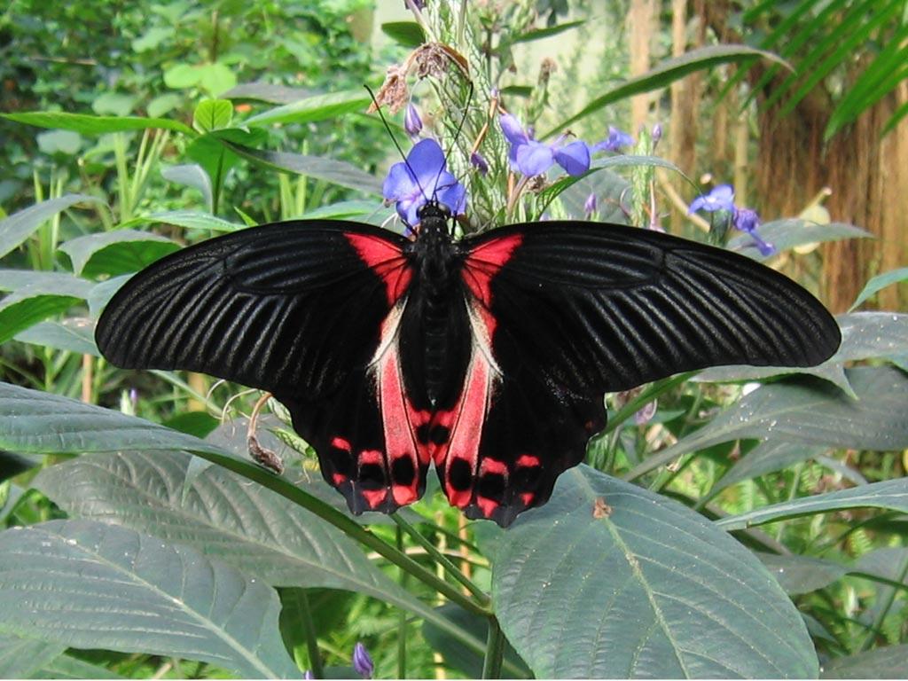 FWP-Papilio-rumanzovia-femelle-002