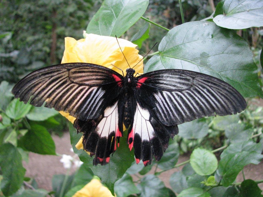 FWP-Papilio-rumanzovia-femelle-003