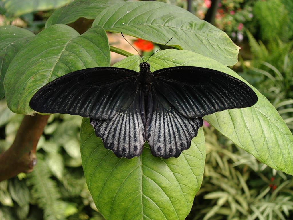 FWP-Papilio-rumanzovia-mâle-001