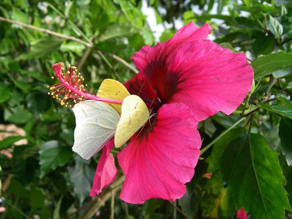 Des fleurs d'ibiscus colorent la serre à papillons.