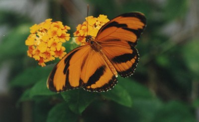 papillon Dryadula phaetusa (Guyane) visible au Naturospace Honfleur