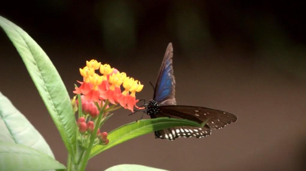 papillon-tropical