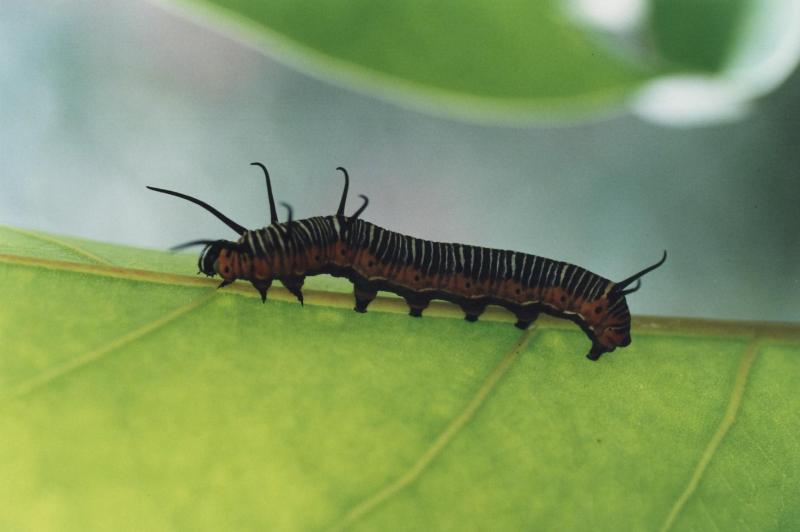 chenille papillon Naturospace