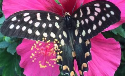papillon antenor