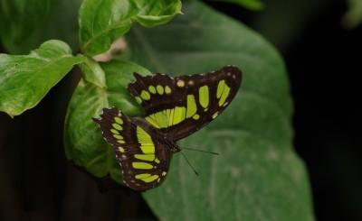 Siproeta steneles (Costa Rica)2