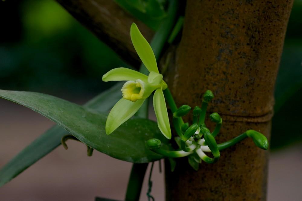 vanille en fleur