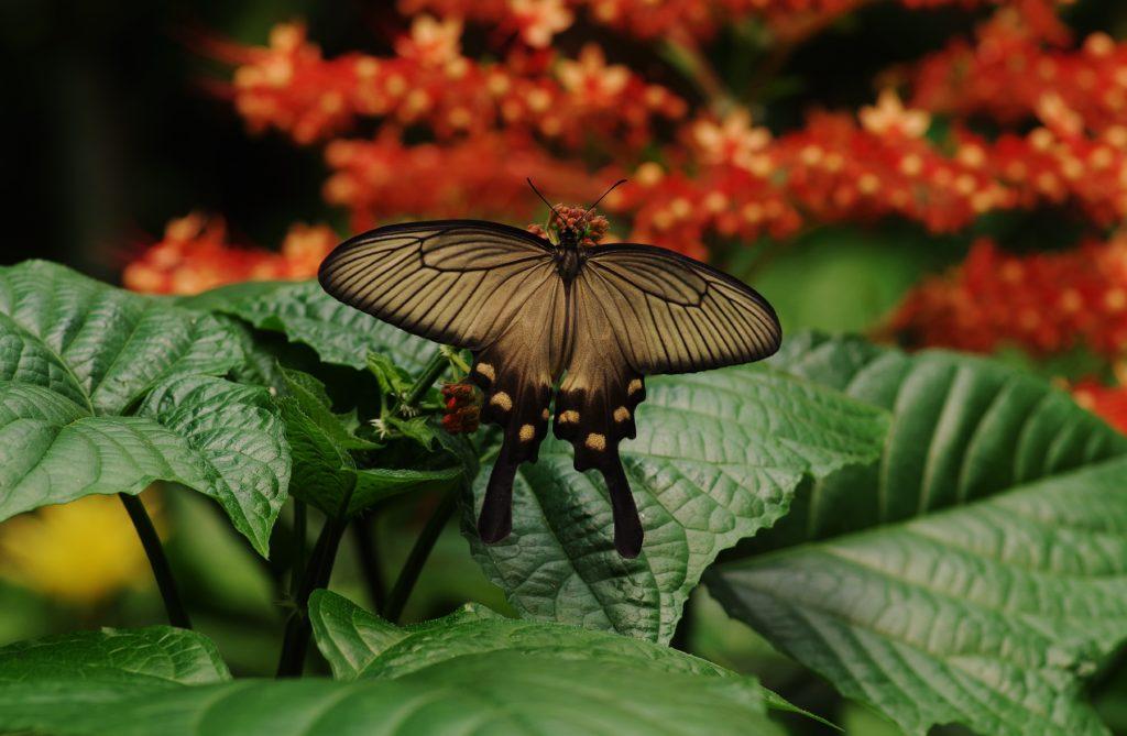 A pilio lowi butterfly in Honfleur