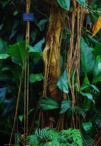 Ficus laurifolia au Naturospace, idée week-end de tourisme à Honfleur en Normandie