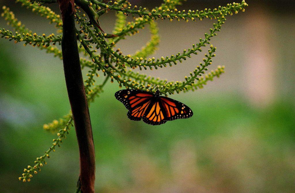 papillon monarque aperçu dans notre serre de Honfleur.