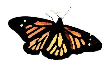 papillon tropicla Morphoà Honfleur