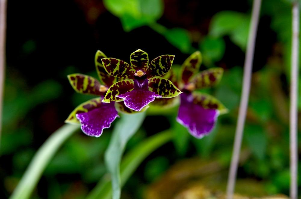 orchidée: Zygopetalum
