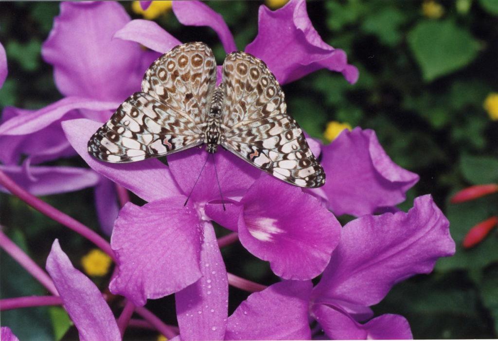papillon Hamadryas sur orchidées